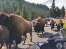 """""""Bitte bleibt friedlich!"""" Bison Herde im Yellowstone National Park"""
