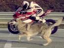 Ducati Panigale vs. Wolf / Moto vs. Raubtier - Sponsorensuche de Luxe! Geil