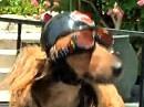 Harley Hund, stilecht und selbstbewusst