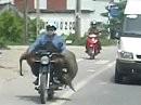 Kuh auf Motorrad gesehen in Hanoi - unglaublich wie da transportiert wird ;-)