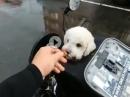 Motorbike Milly: Motorrad Hund mit Helm und eigener Website :-)