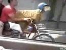 Motorradhelm für die Ziege - weil die das meiste Hirn hat?