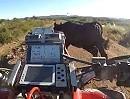 Quad Crash: Quad trifft Kuh - mitten in der Wüste! Dumme Kuh