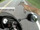 Wildunfall. Reh trifft Motorrad: Reh tot, Fahrer nichts passiert - Gegenfahrbahn frei.