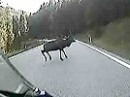 Wildwechsel - Hirsch quert Fahrbahn vor Motorrad